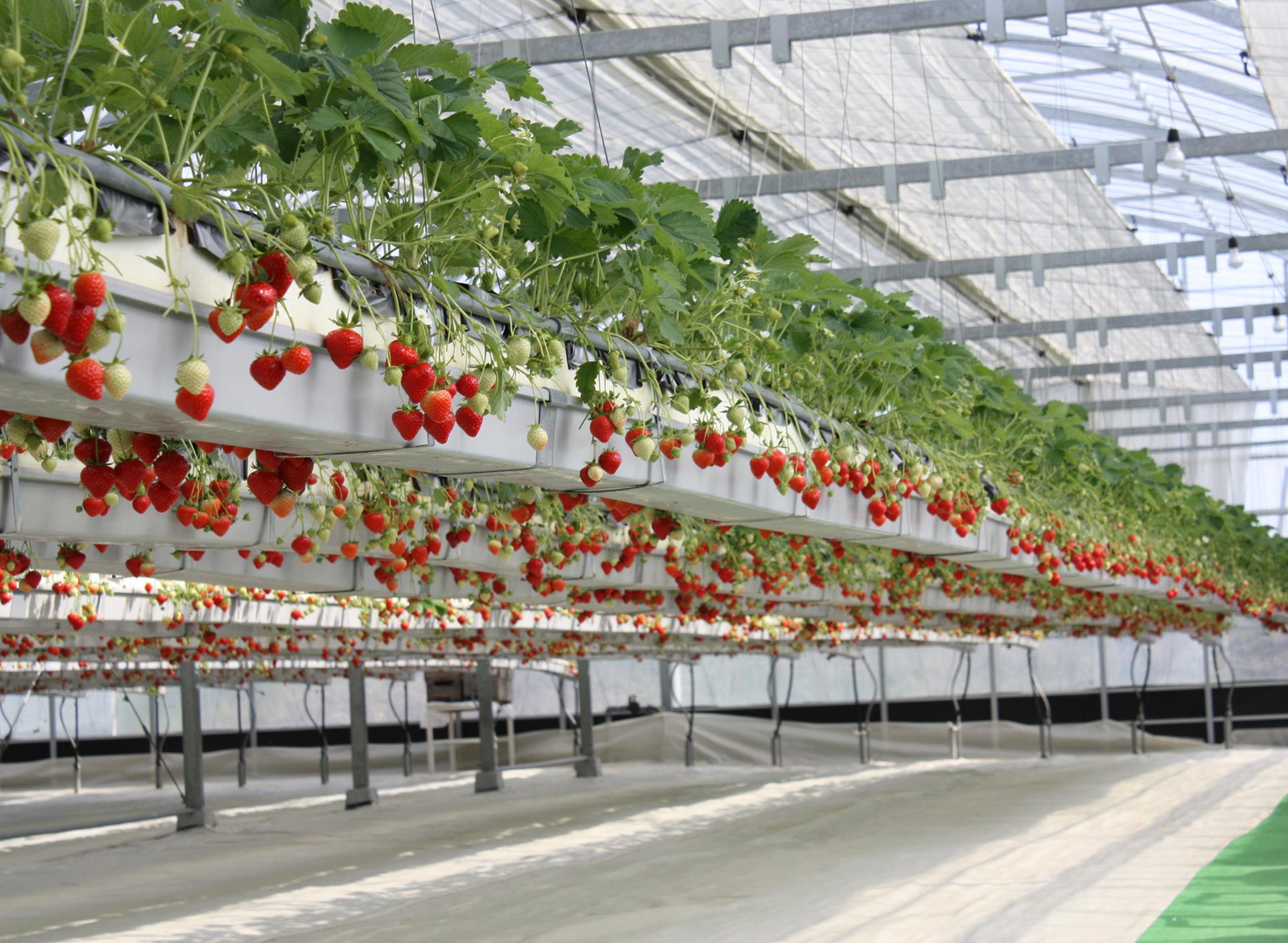 Eclairage led horticole et culture de la fraise horticoled for Fraisier darselect