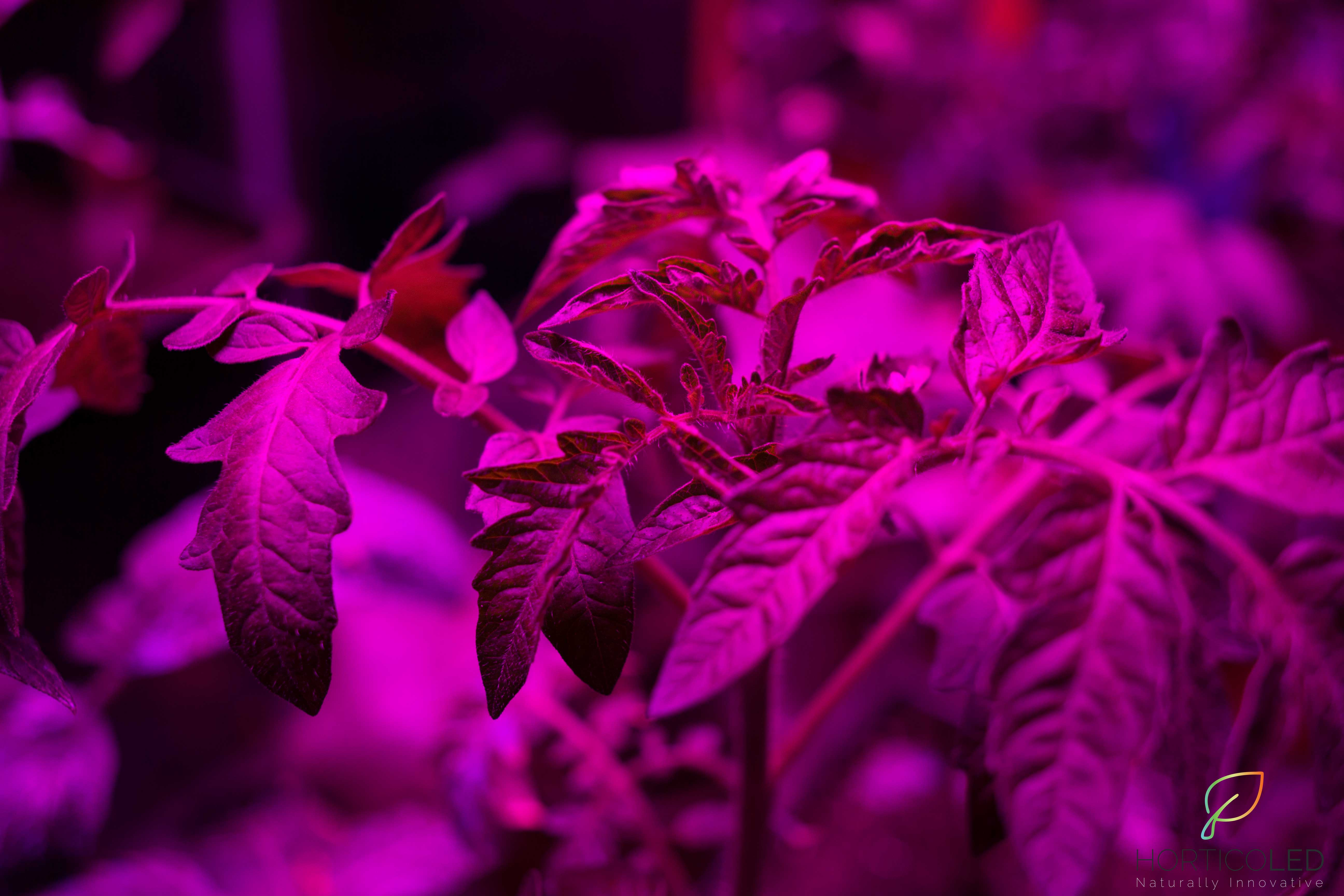 Picture of tomatoes in a greenhouse equipped with horticultural LED